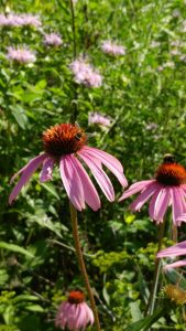 Bees on purple coneflowers
